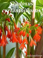 SCADOXUS CYRTANTHIFLORUS, Extremely Rare, Rwenzori Mountains, Uganda Collection