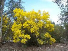 SNOWY RIVER WATTLE OR Acacia Boormanii  30 seeds
