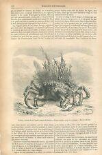 Maja Crabe-araignée de Mer crustacés Dessin de Mesnel GRAVURE ANTIQUE PRINT 1874