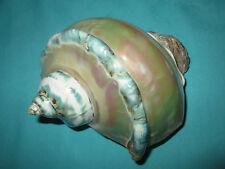 schöne Turbo marmoratus- Green turban Seashell, 131mm lang-perlmutt