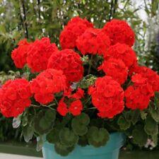 Geranium - Landscaper Red - 10 Seeds