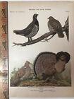 Vintage Original Print Plate #41 Grouse Birds of New York 1916 Fuertes Nature