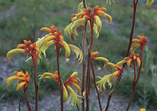Albany Cat's Paw or Quoll's Paw or Yellow Kangaroo Paw Seed Drought Hardy