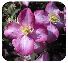 Clematis Montana 'Rubens' Bare Root Plants x 3 Vigorous Mauve-Pink Climber