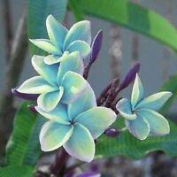 10 Blue Plumeria Seeds Plants Flower Lei Hawaiian Perennial Seed Flowers 2-475