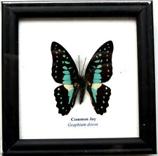 FRAMED REAL BEAUTIFUL COMMON JAY BUTTERFLY DISPLAY INSECT TAXIDERMY