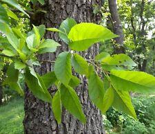 JAPANESE ALDER (Alnus Japonica) 50+EXTRA seeds (#166)