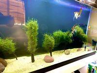 Java Moss Aquarium APF Live Aquatic Plants BUY2GET2FREE*