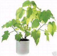 schöner Baum für die Wohnung; Luftreiniger: ZIMMERLINDE