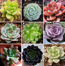 60 PCS Seeds Bonsai Rare Succulent Home Garden Bulk Organic Ornament Plant NEW S