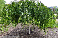Betula pendula Youngii / Youngs Weeping Silver Birch Tree, grown peat free 3ft