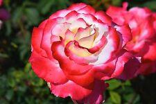 Double Delight Premium Rose - Live Plant