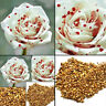 200Pcs Rare White Drop Blood Rose Flower Seeds Garden Decor Plant Seed Sanwood