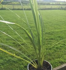Cordyline australis - Cabbage Tree/Palm - Plant in 7cm Pot
