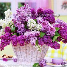 FRENCH LILAC - Syringa vulgaris 40 seeds shrub Bonsai Tree Fast winter hardy