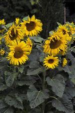 eine der schönsten Pflanzen überhaupt der grandiose gelbe Kerzenstrauch