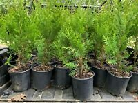 Green Giant Arborvitae 1 Gallon Trade Pot (Live Evergreen Tree)