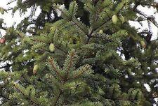 Picea koraiensis KOREAN SPRUCE TREE Seeds!