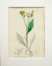 Yellow Hawkweed - Sowerby 1800s Mounted Antique Botanical Print Hand Coloured 16