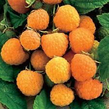 Raspberry Seeds - ANNE YELLOW - Sunshine Coloured Fruit - GMO FREE - 25 Seeds