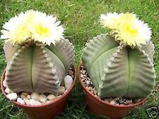 Astrophytum myriostigma Kiko nudum rare japan hybrid cactus plant cacti 20 Seeds