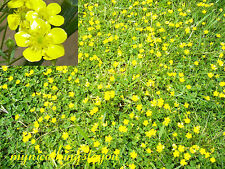 200 YELLOW BUTTERCUP VINE FLOWER SEEDS,BEST GROUNDCOVER EVER, PRETTY FLOWERS TOO