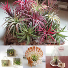 100Pcs Perennial Succulent Tillandsia Seeds Indoor Plant Flower Bonsai Decor