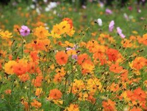 Wild Garden Flower Seeds. Cosmos Bright Lights. INC FREE SEED OFFER - see desc