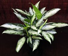 "Aglaonema Jubilee 6"" Pot Chinese Evergreen Excellent Tropical House Plant Low Lt"