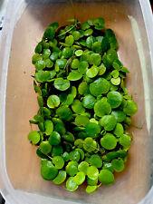 60 Amazon Frogbit - Aquarium Floating Plant or Pond Plant