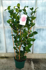 Bush/Shrub Shrubs & Hedges Camellia