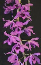 SALE - Dendrobium anosmum compact variety species Orchid Plant