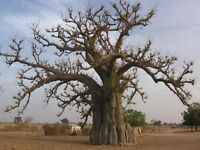 Lot 1000 Graines seed Baobab geant adansonia digitata