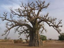 Lot 1000 Graines seed Baobab geant adansonia digitata