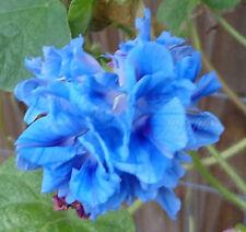 Hige Blue Spanish Eyes   Morning Glory Seeds   100+ Seeds   Rare