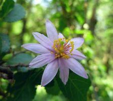 i! LAVENDEL-STERNBLÜTE i! tolle Duft Blüten mit essbare Früchte !