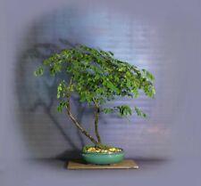 "Tropical Mahogany Bonsai Tree, ""Rare Flora"" bonsai collection by Samurai-Gardens"