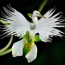 200 Pcs Rare Ghost Orchid Seeds Japanese Radiata White Egret Home Garden Flower