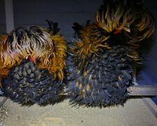 8+ Frizzle/ Smooth Polish Hatching Eggs Read Description