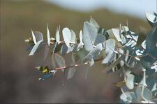 Lake Wyola Mallee (Eucalyptus wyolensis) - Rare seeds