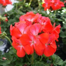 15 geranium seeds logro nano Scarlet Pelargonium Seeds