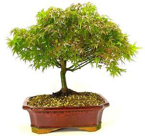Acer Kiyohime (Japanese Maple ) Bonsai Tree - A beautiful Broom Style Tree
