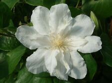 Clematis Sylvia Denny climbing plant white flower May/June and Sept 1 litre pot