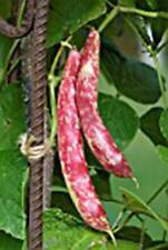 Bean, Taylor Dwarf Hort. Bush , Heirloom, Organic 500+ Seeds, Colorful N Tasty