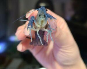 Live Blue Crayfish (Freshwater Juvenile Mudbug/Craydaddy) *PLS READ DESCR*