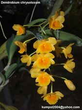 Orchid specie seeds: Dendrobium chrysotoxum - Year 2016