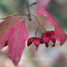 Euonymus Europaeus Red Cascade 12 litre pot
