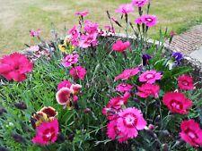 20 OLD-FASHIONED COTTAGE GARDEN PINKS - (Dianthus Flavora) Mini Plug Plants - HP
