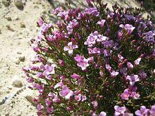 Bushy Boronia (Boronia Fastigiata  ) 20 Seeds