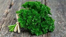 Certified Organic Forest Green Parsley Seed (500 seeds) Open Pollinated 2018